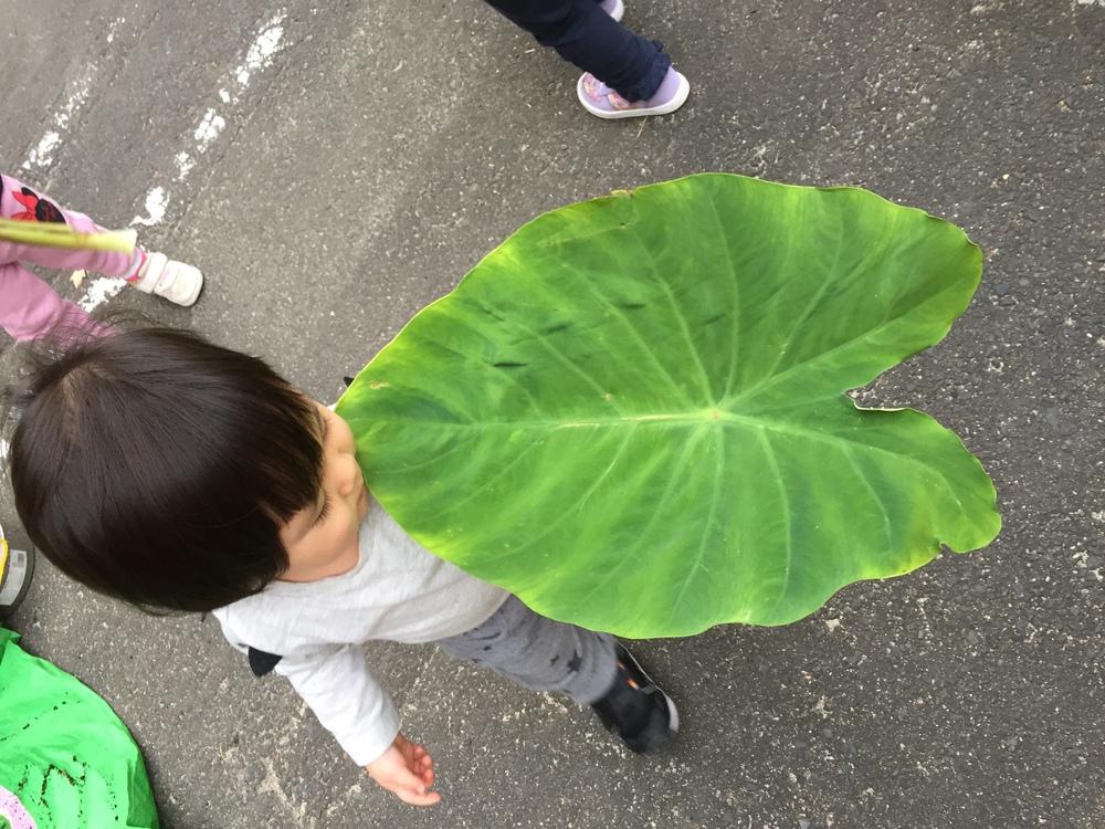 顔よりも大きな葉っぱ